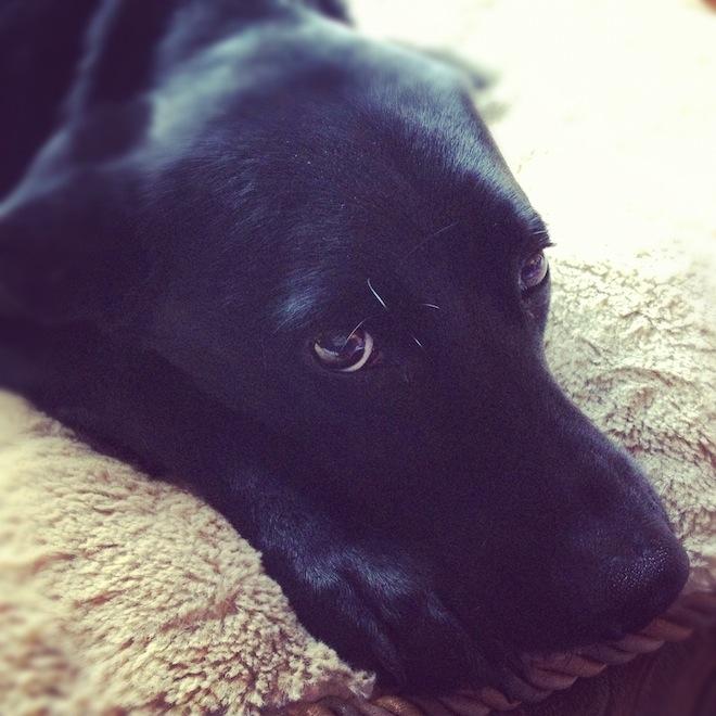 My dear departed Callie. Image by Natania Barron, CC BY SA 3.0