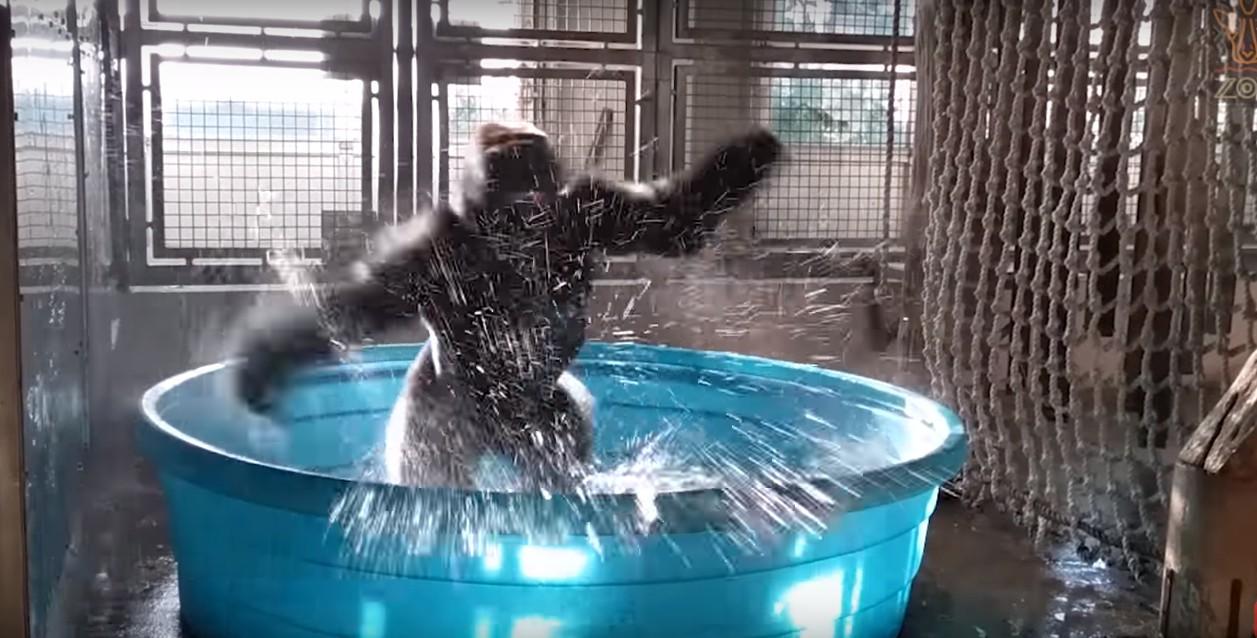 Breakdancing Gorilla Enjoys Pool [Video]